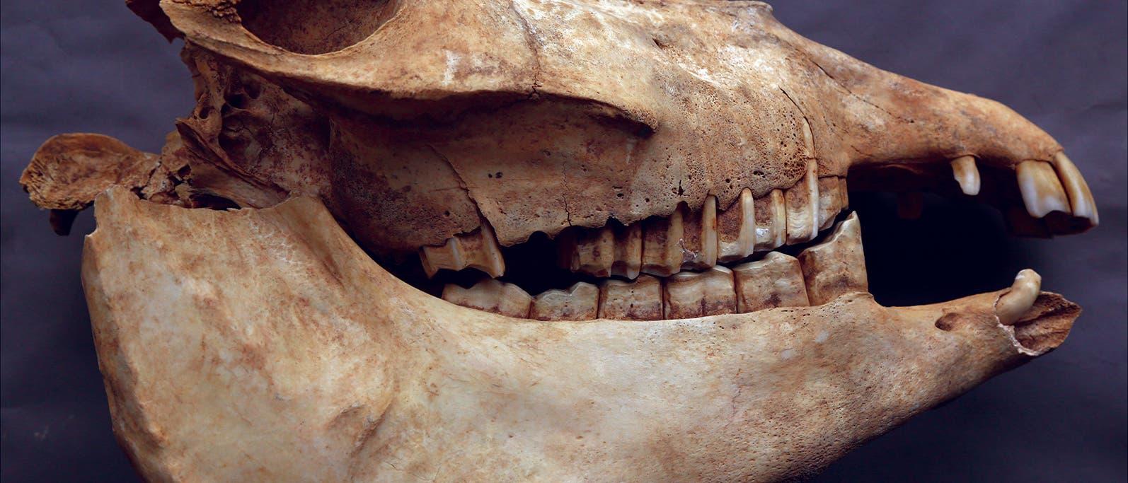Kopf eines Esels aus dem Grab von Cui Shi