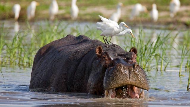 Flusspferde gehören zu den großen 5 jeder Safari