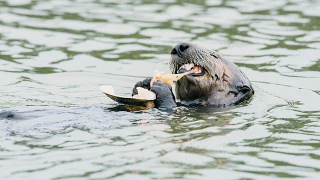 Seeotter knackt eine Auster