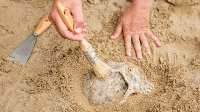 Blick auf einen teilweise vergrabenen Schädel, den zwei Hände vorsichtig frei legen