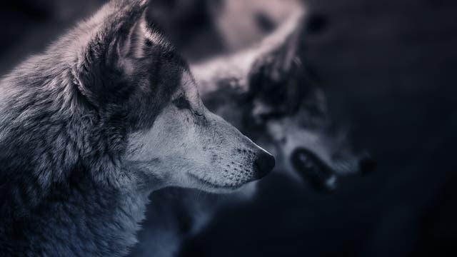 Wölfe im Profil