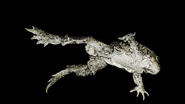 Blick auf die Bauchseite des Frosches. Die schrumpeligen Hautlappen sind für den eigenwilligen Spitznamen des Tieres verantwortlich. Allerdings ist der Bauch weiß, eine Farbe, die Hodensäcke meist nicht haben.