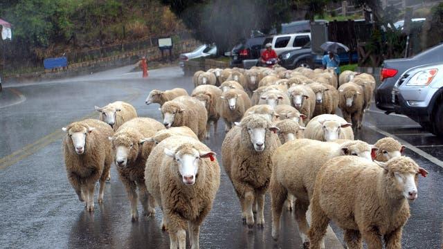 Schafe im Regen