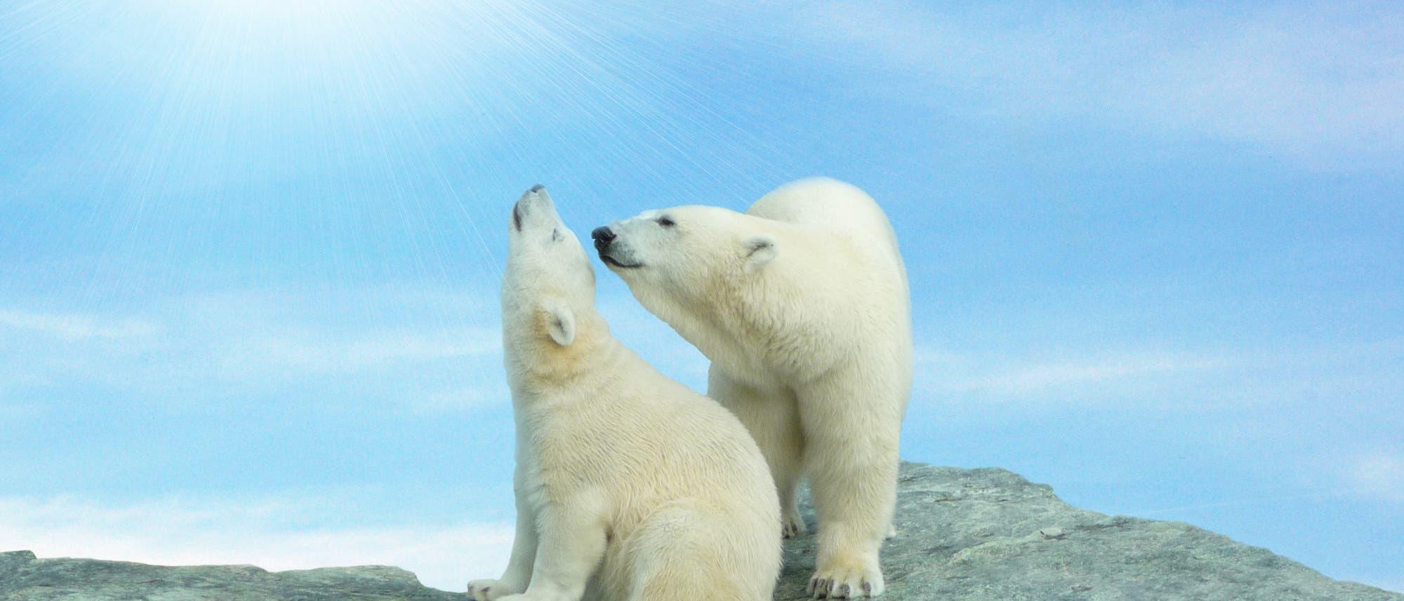 Zwei Eisbären sitzen auf Felsen und sonnen sich