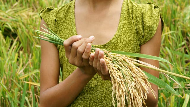 Reisgarben in den Händen einer kopflosen Frau