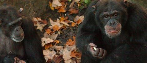 Schimpansen im Wolfgang-Köhler-Primatenforschungszentrum