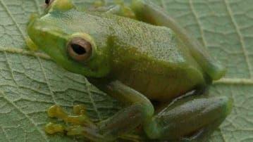 Neu entdeckter Frosch