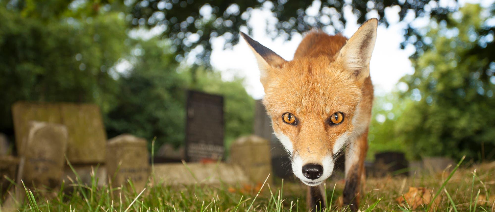 Neugieriger Fuchs