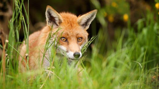 Füchse können den Fuchsbandwurm auf Menschen übertragen