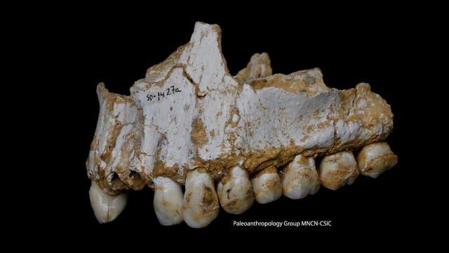 Ein Neandertalergebiss aus der El-Sidron-Höhle in Spanien