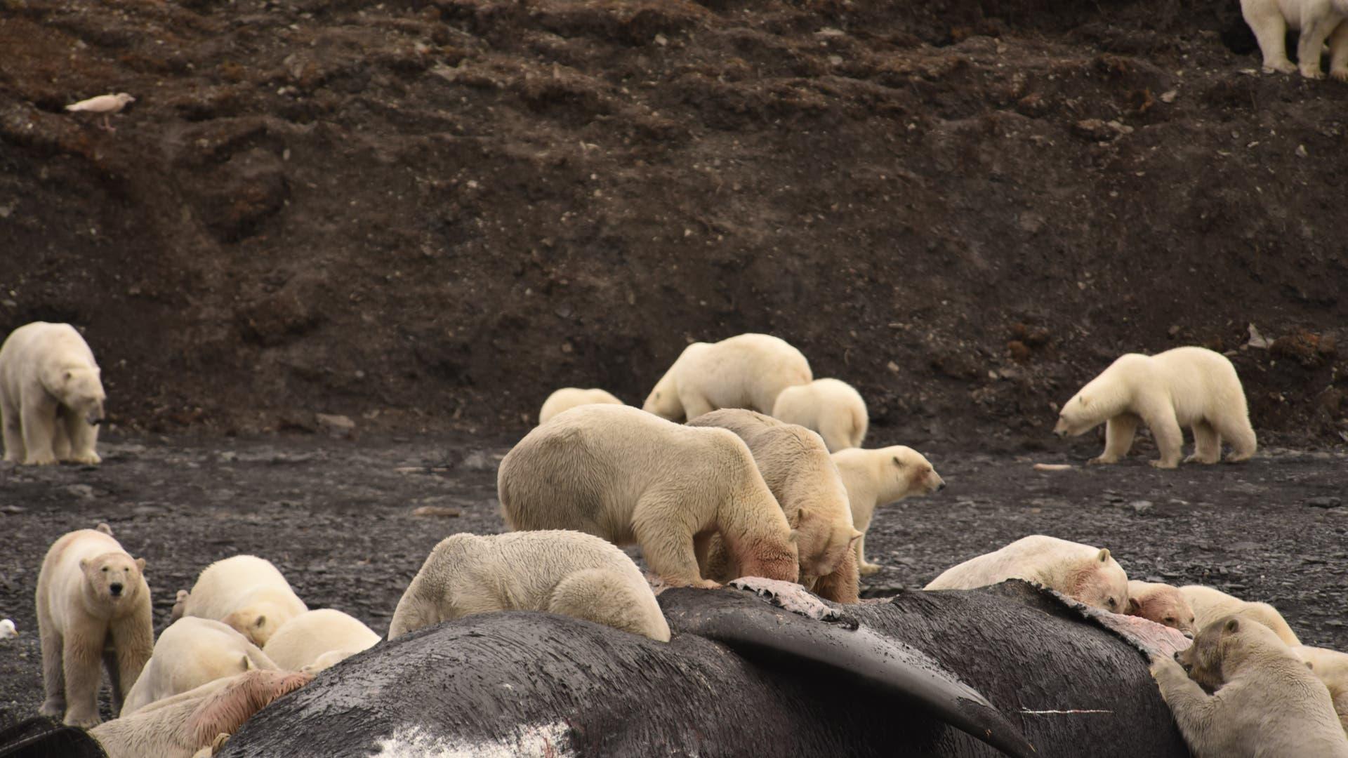 Eisbären fressen zu Dutzenden am Wal