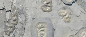 Fossilien- Kolonie
