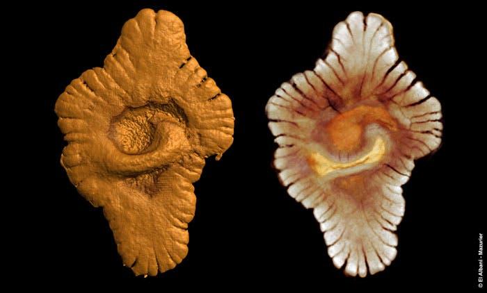 3-D Modell des fossilen Vielzellers