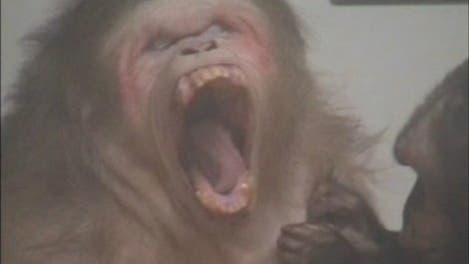 Gähnender Makake im Video
