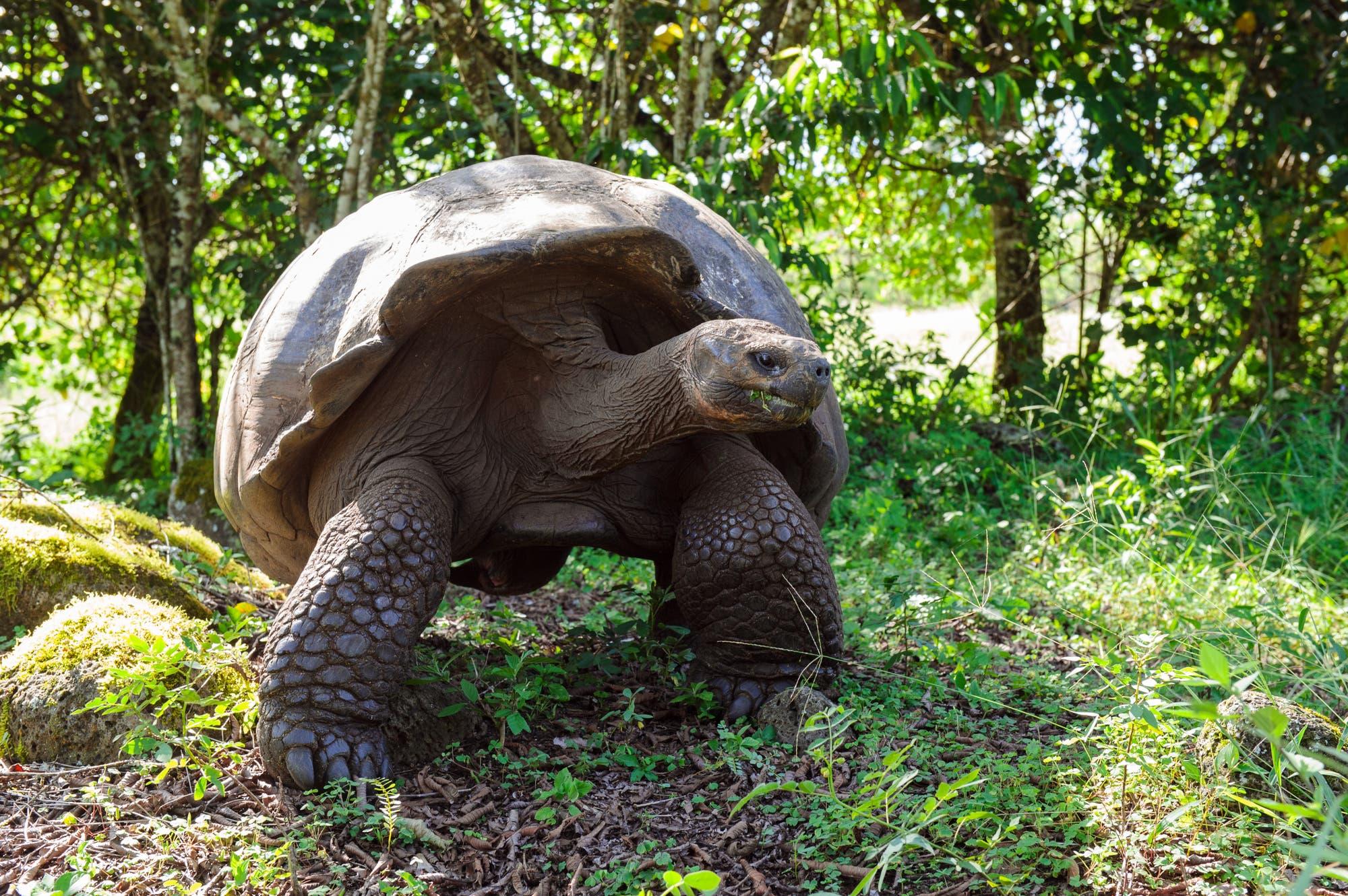 Schildkröten könnten das sechste Massenaussterben überleben.