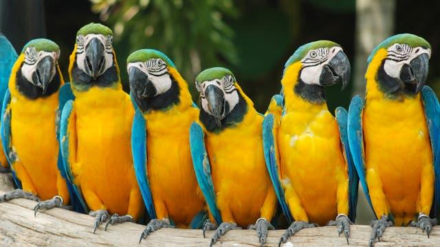 Papageien wie diese Gelbbrustaras sind überwiegend in den Tropen zuhause