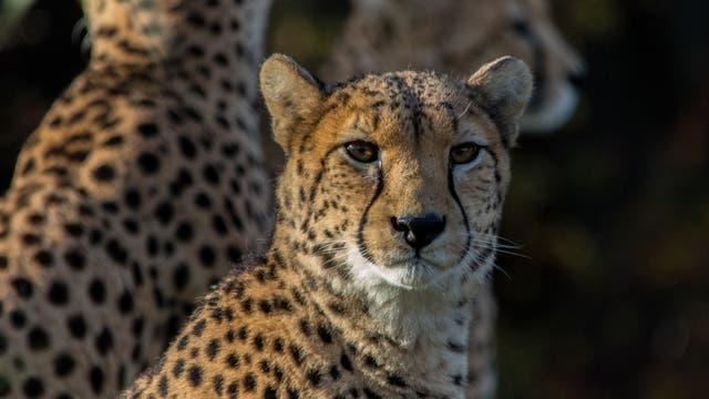 Gepard blickt in die Kamera