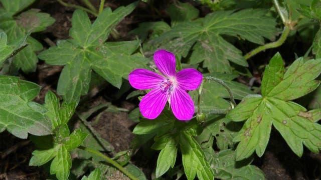 Eine kleine Blüten mit fünf sternförmig angeordneten Blättern: Geranium palustre.