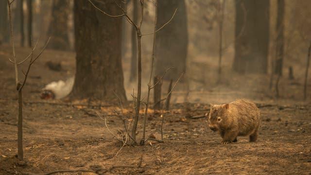 Wombat marschiert durch verbranntes Waldgebiet