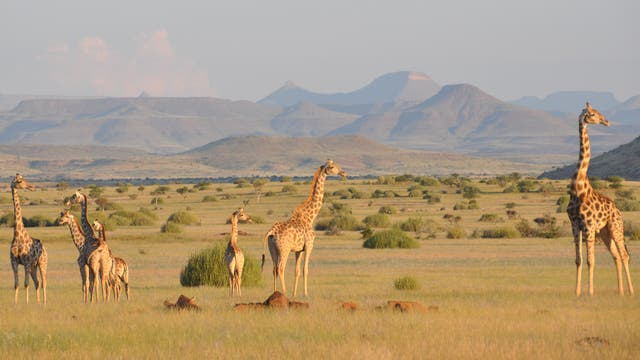 Giraffen in einer Savannenlandschaft