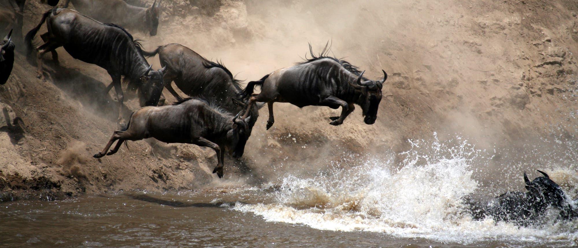 Gnus überqueren den Mara-Fluss in der Serengeti