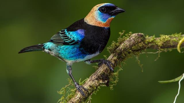 Bei manchen Tangaren-Arten sind Männchen wie Weibchen bunt gefiedert