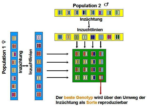 Infografik Hybridzüchtung ...