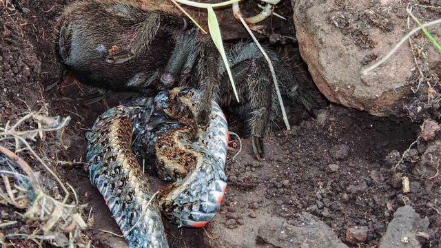 Vogelspinne frisst Schlange in Brasilien