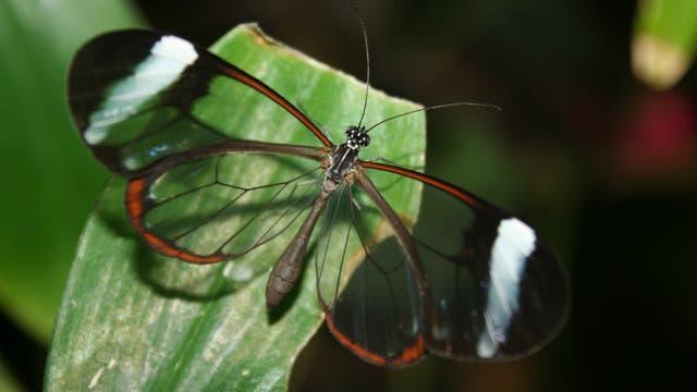Waldgeist Greta oto, Schmetterling