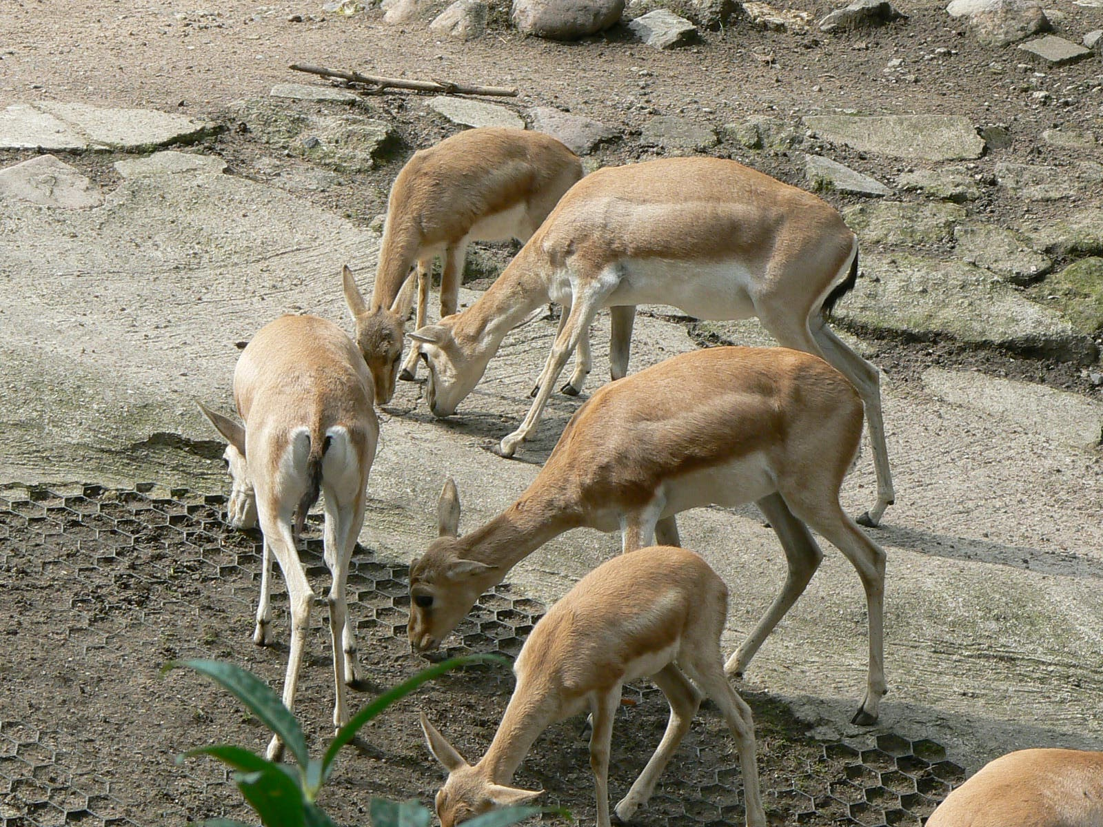 Die Kropfgazelle (Gazella subgutturosa)...