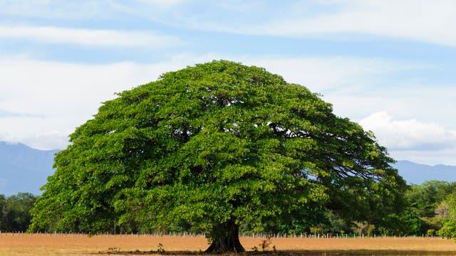 Ein einsamer Baum steht in Guanacaste, Costa Rica