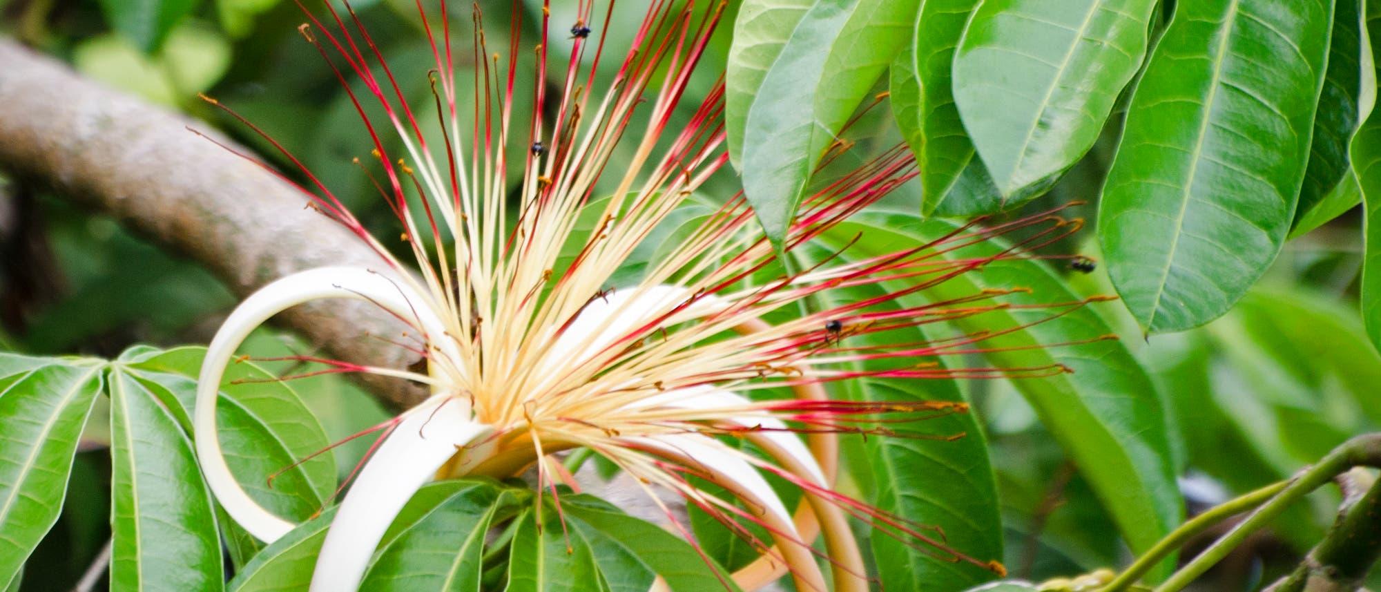 Glückskastanie - eine der größten Baumblüten der Erde