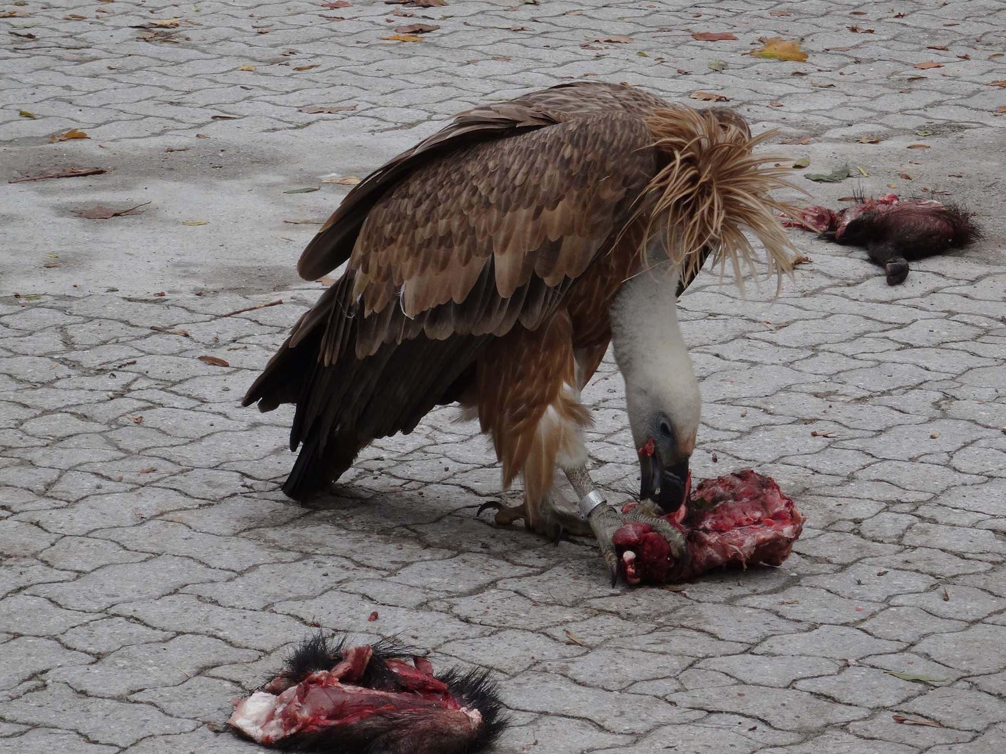 Der Gänsegeier Gypsi genießt im Salzburger Zoo die Pflege der Menschen und das gute Futter ganz ohne Blei.