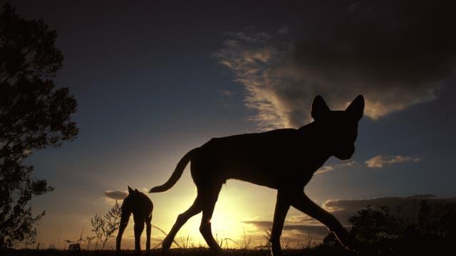 Dingos in der Dämmerung