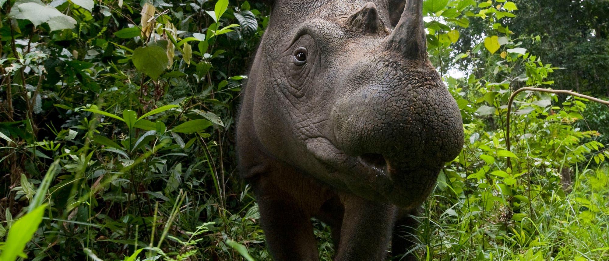 Sumatra-Nashorn (Dicerorhinus sumatrensis)