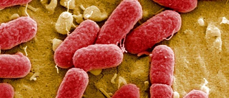 EHEC-Bakterien im Darm