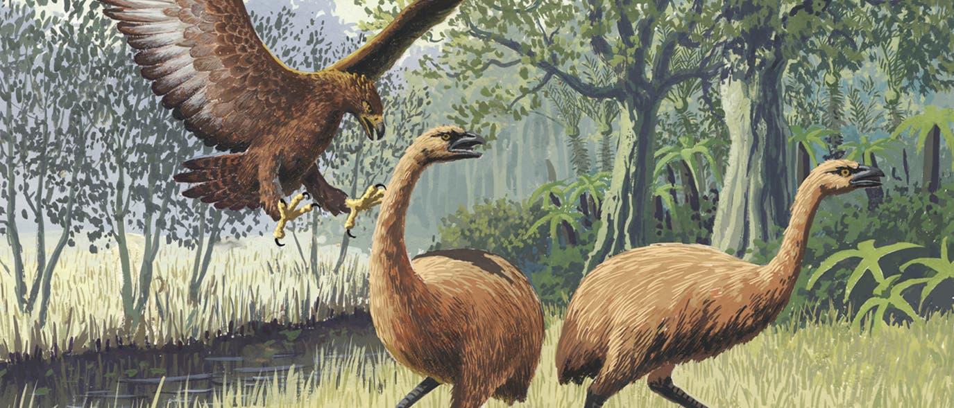In einem säugerlosen Land vor unserer Zeit: Haast-Adler jagt Moas