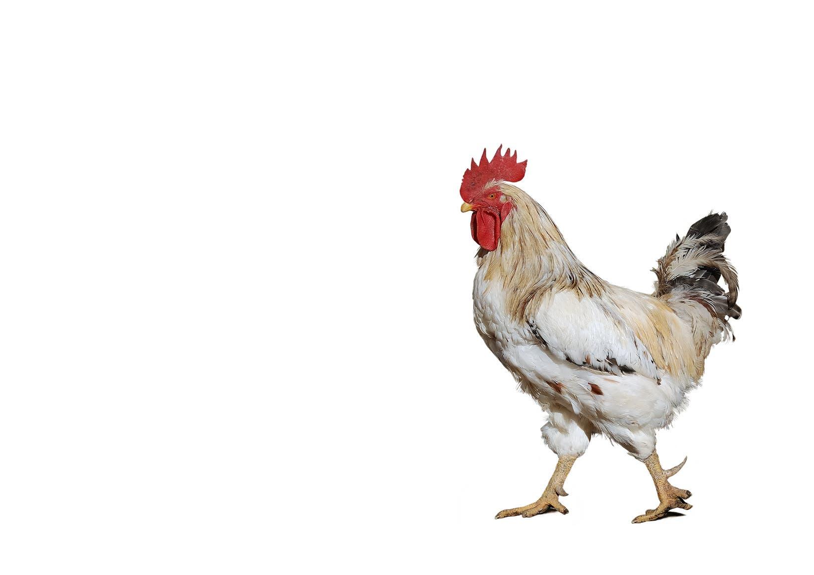 9. Hühner bevorzugen schöne Menschen