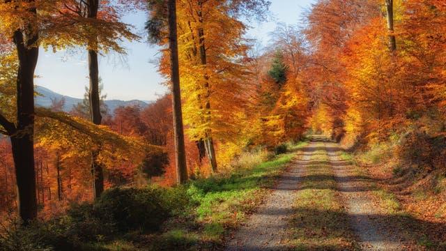 Herbstwald mit buntgefärbten Blättern