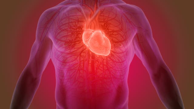 Eine grafische Darstellung des Herzens und des Blutkreislaufes.