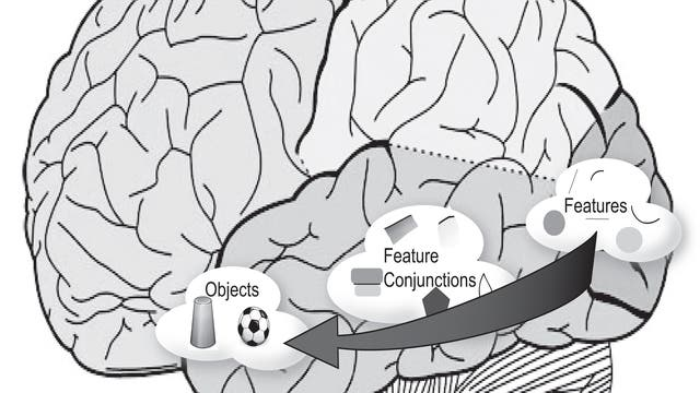 Der ventrale visuelle Pfad