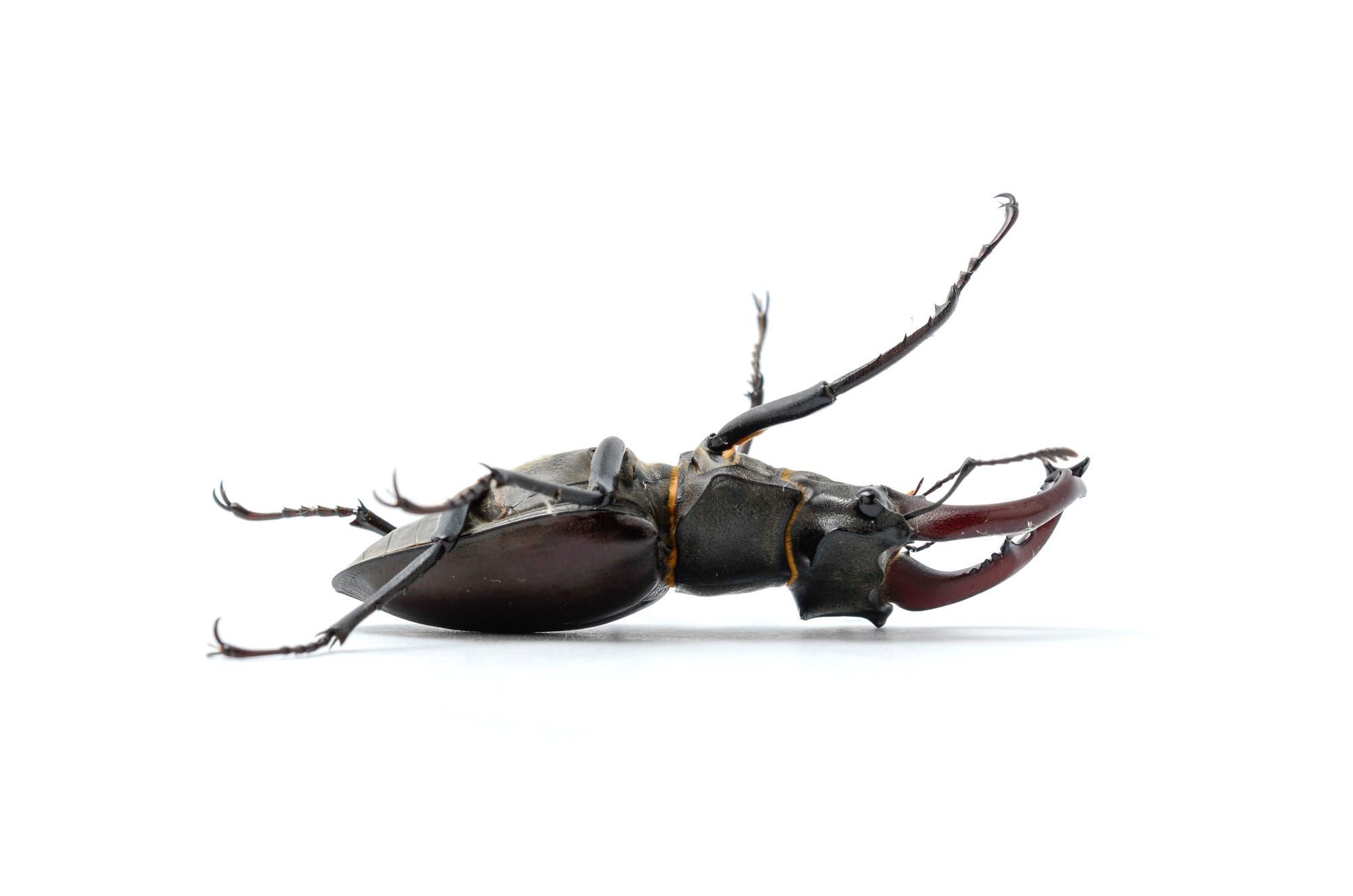 Ein toter Hirschkäfer – Symbol für das Insektensterben