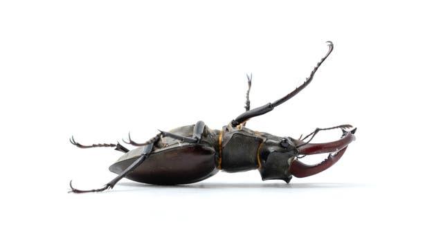 Ein toter Hirschkäfer - Symbol für das Insektensterben