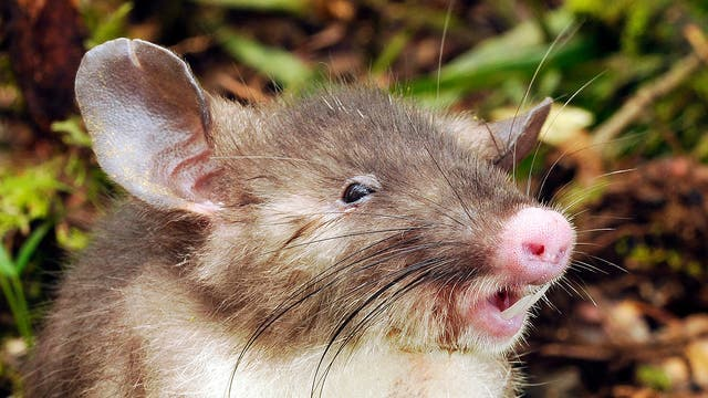 Neu entdeckte Nasenratte aus Indonesien