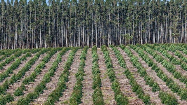 Holzplantage gegen die Erderwärmung