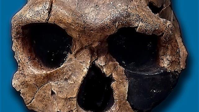 Schädel eines <i>Homo habilis</i>