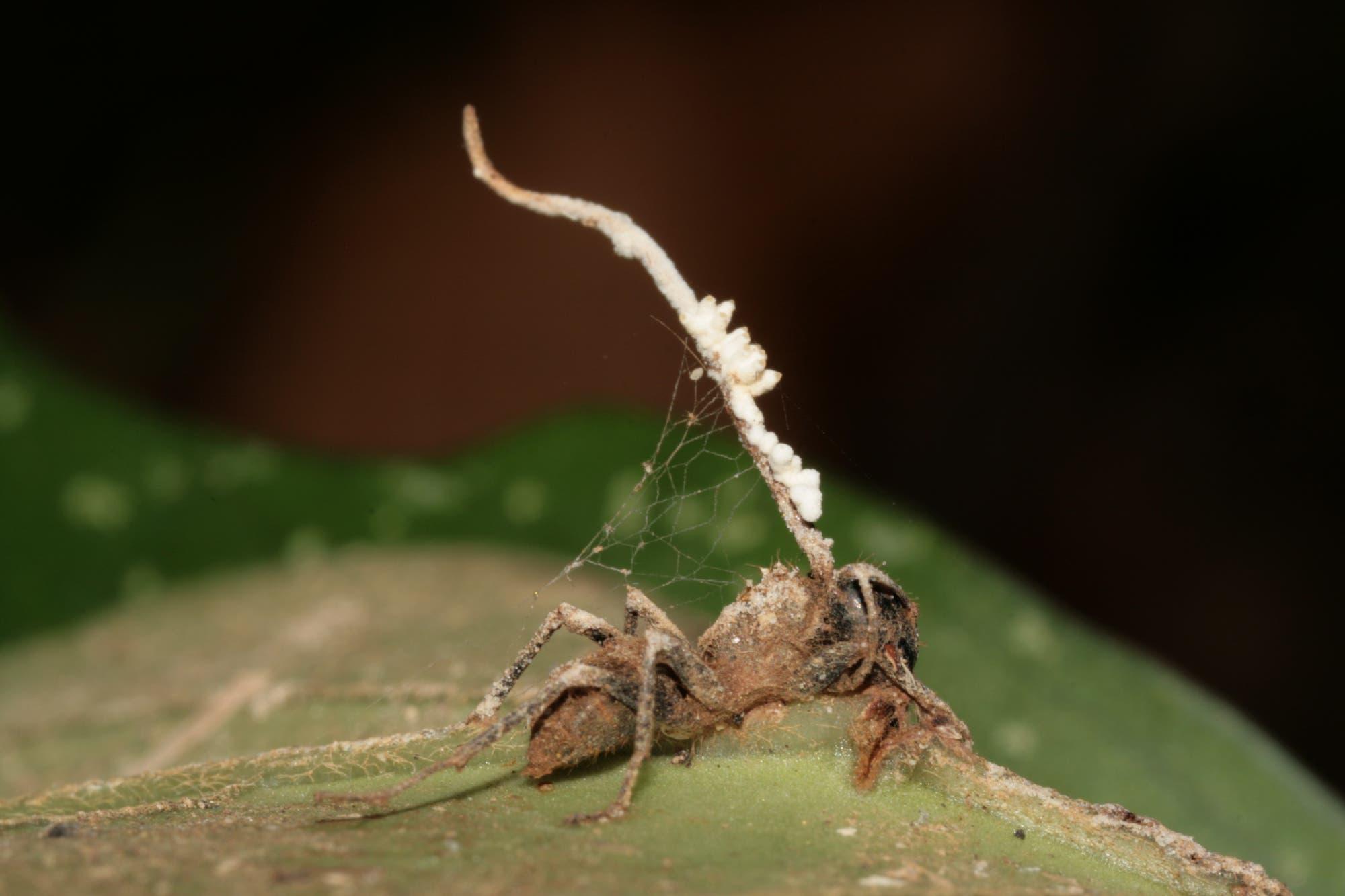 Pilz macht Ameisen zu Zombies, um sich zu vermehren