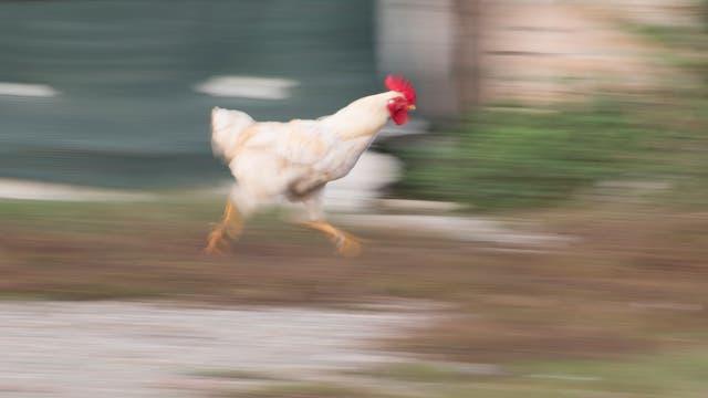 Rennendes Huhn auf Kauai