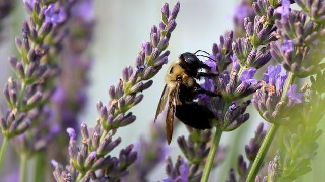 Hummel im Lavendel