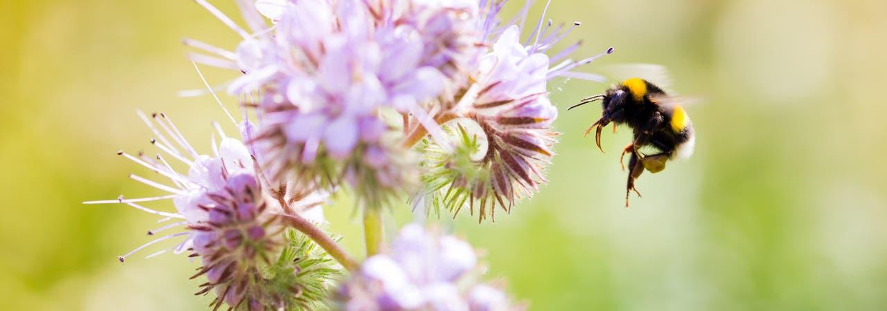 Hummeln zählen zur Gattung der Echten Bienen. Sie sind ausgezeichnete Bestäuber, da sie durch ihre lange Zunge gut in tiefe Blüten gelangen. Wie vielen anderen Insekten macht auch ihnen die Zerstörung ihres Lebensraums zu schaffen. 16 Arten gelten in Deutschland als bedroht.